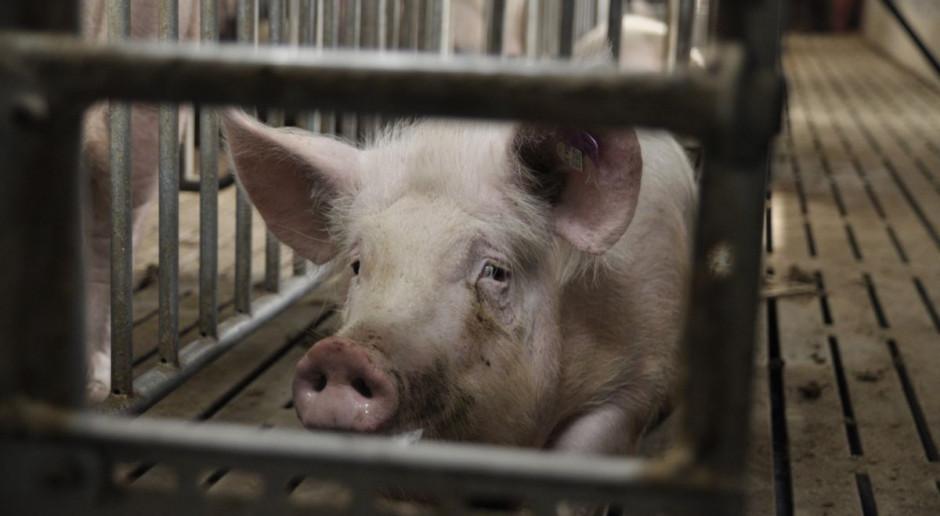 Wracają upały – ograniczamy skutki stresu cieplnego u świń