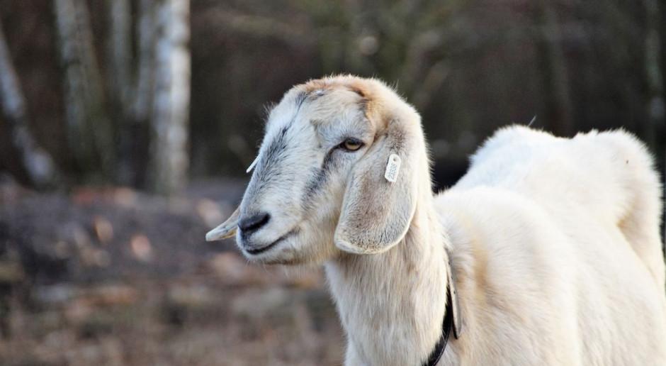 Złapali włamywacza - odzyskali pieniądze i owce