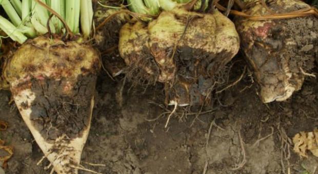 Zgnilizny na korzeniach buraka cukrowego