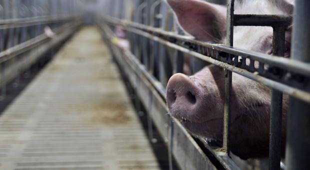 17 proc. gospodarstw bez odszkodowania z tytułu wystąpienia ASF