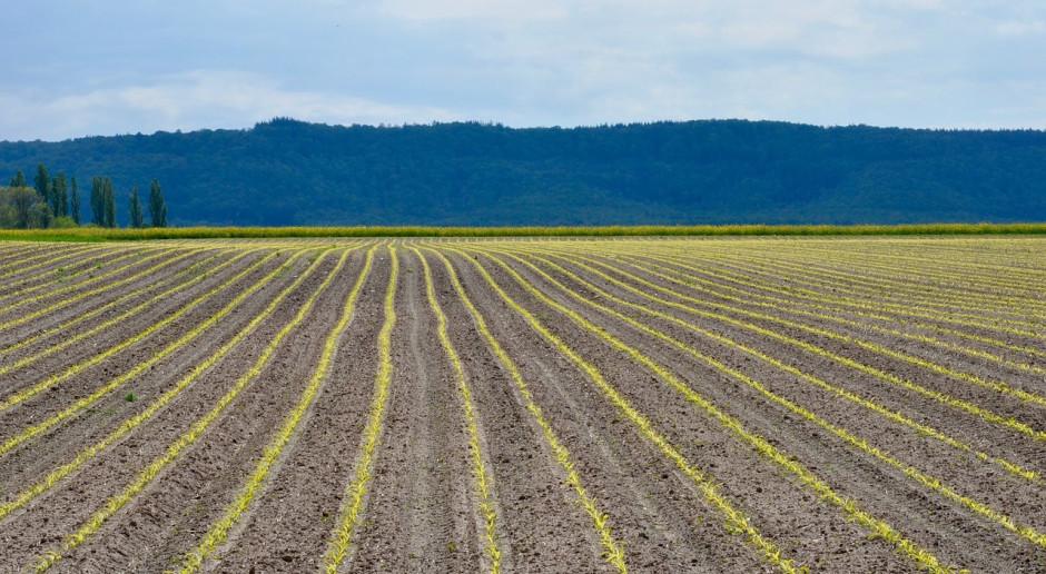 Raport USDA: Mniejszy niż przed rokiem areał uprawy kukurydzy, pszenicy i soi