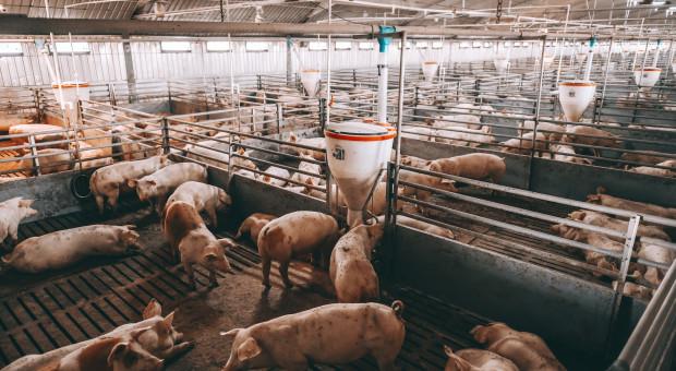 Niemcy: spada pogłowie świń i liczba gospodarstw trzodowych