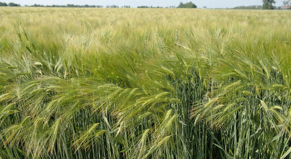 Heterozyjne odmiany zbóż ozimych