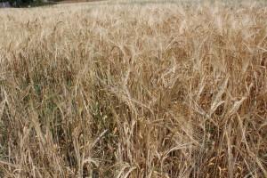 Afrykańskie upały wstrzymały wegetację  i spaliły rośliny na wielu polach. Zaszkodziły również plonom jęczmienia ozimego