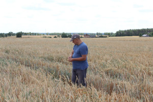 Pszenica miał duży potencjał, ale brak wody i upały zniszczyły nadzieje na plon - mówi Jacek Miksa