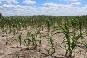 Tak prezentuje się kukurydza na wielu plantacjach w regionie łódzkim