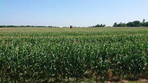 40 proc. dochodu stanowi sprzedaż pszenicy i kukurydzy