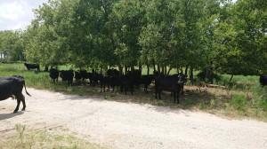 Już ojciec Travisa – Rick, kilkadziesiąt lat temu zapoczątkował hodowlę bydła mięsnego