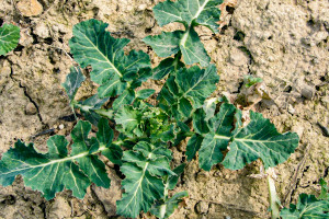 Bardzo ważne jest dopasowanie odmiany do stanowiska glebowego fot. BASF
