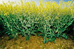 Odmiana rzepaku InV1165 należy do roślin średniowysokich. fot. BASF