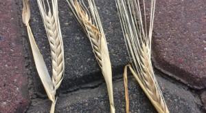 KFPZ ocenia jakość ziarna zbóż i zaawansowanie żniw