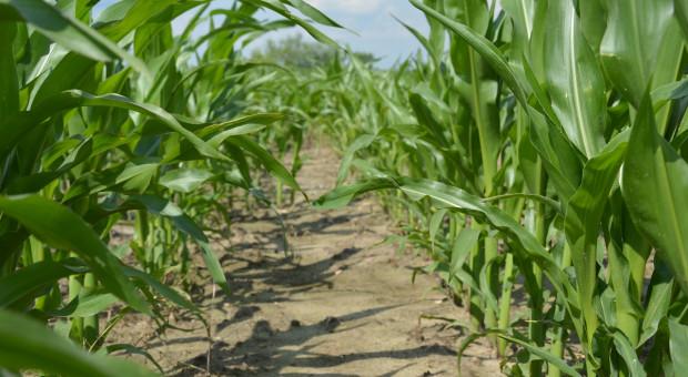 Dokarmienie dolistne kukurydzy