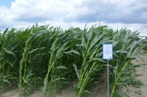 Kukurydza w pełni rozwoju - brak oznak suszy