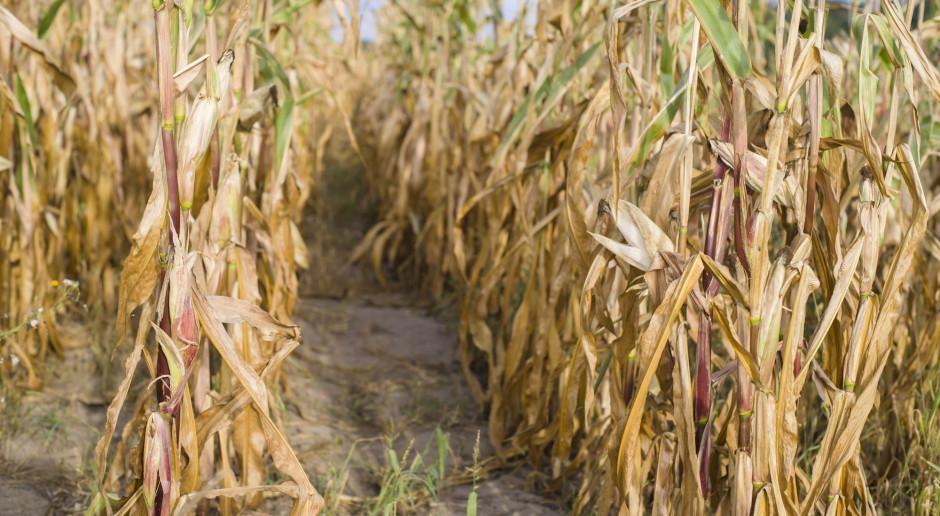 Wielkopolska Izba Rolnicza: poważne straty wskutek suszy
