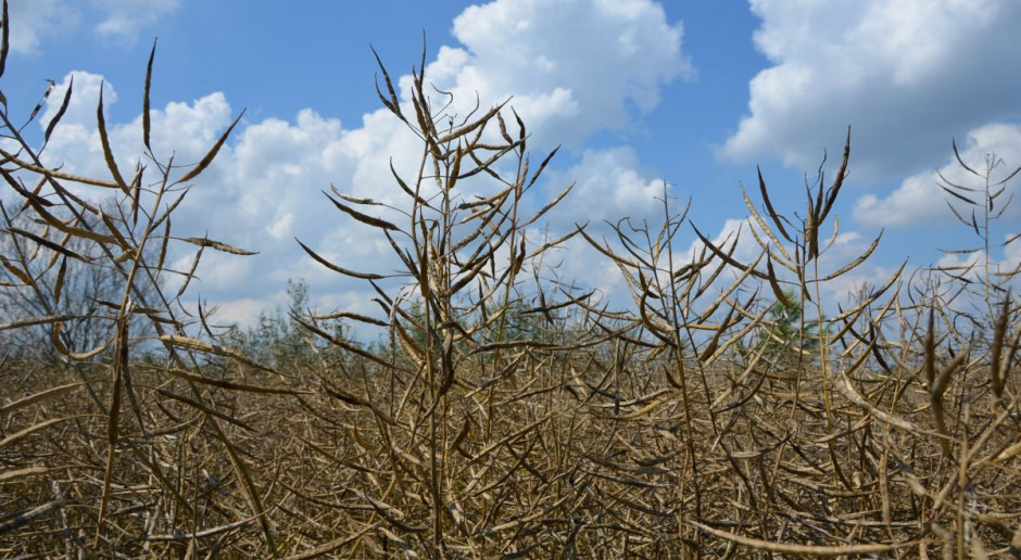 KZPRiRB: Sytuacja na polach rzepaku nie jest tak optymistyczna jak się wydawało wcześniej