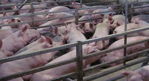 USA: Pogłowie świń najwyższe w historii