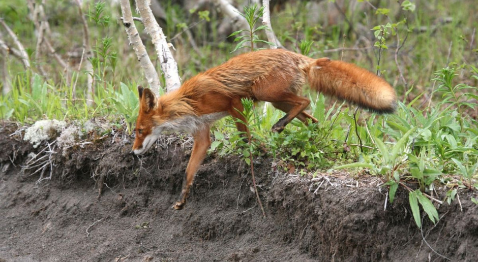 Wyroki za znęcanie się nad lisem, który kradł kury