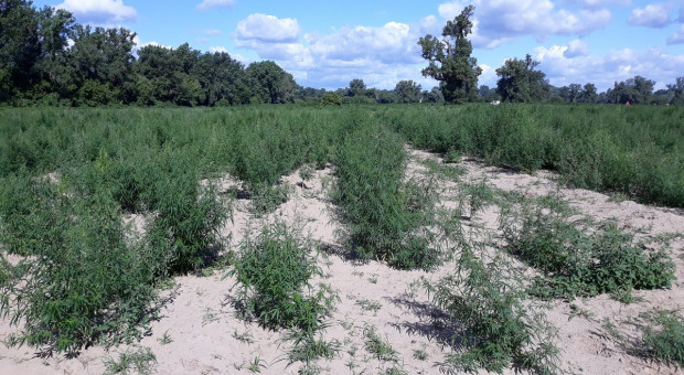Plantacja konopi indyjskich na 4 hektarach