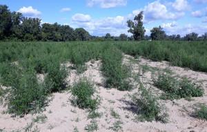 Rośliny w różnych fazach wzrostu zajmowały areał aż 4 ha, Foto: Policja