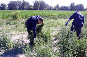 Łącznie policjanci zabezpieczyli 15 tysięcy nielegalnych roślin
