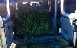 Policja oszacowała, że z takiej ilości krzewów można byłoby uzyskać marihuanę wartą 5,5 mln zł.