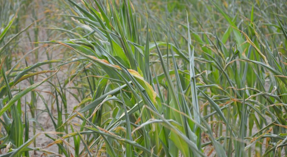 Stan plantacji kukurydzy nie zachwyca