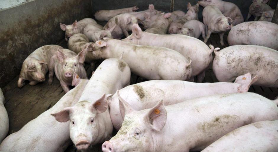 Ceny świń wciąż bez zmian. Kiedy spodziewać się podwyżek?