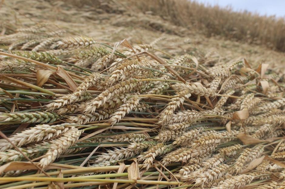 Jakość ziarna z powyleganych zbóż będzie dużo gorsza Fot. A. Kobus