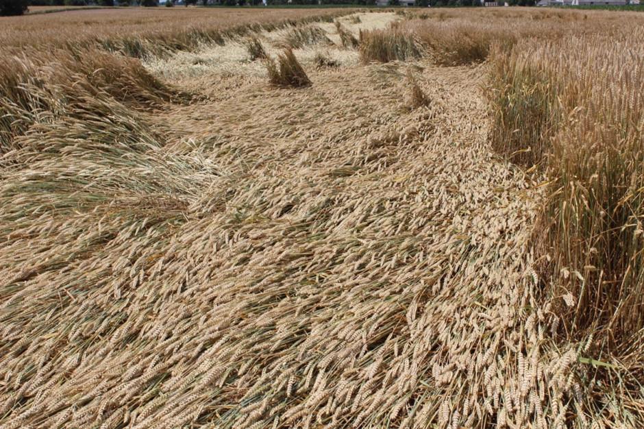 Spóźniony zabieg przy użyciu regulatorów zbóż, nie zabezpieczył  wystarczająco plantacji przed wyleganiem Fot. A. Kobus