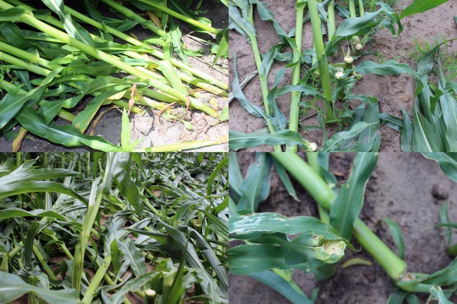 Silne wiatry potrafiły położyć nawet kukurydzę, nawet doprowadzić do całkowitych ścięć pędów Fot. A. Kobus