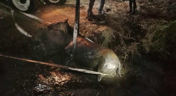 Strażacy ratowali konia, który wpadł w grzęzawisko