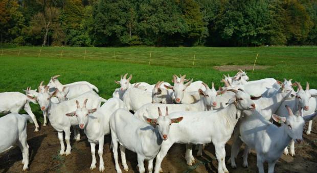 Sto kóz zniknęło z pastwiska pod Rzeszowem