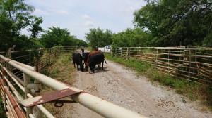 Przeganianie bydła, fot. T. Kuchta