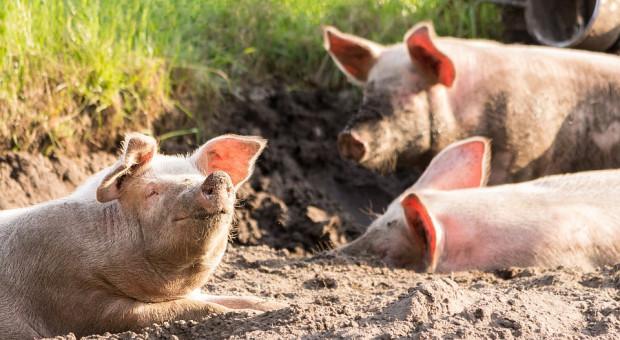 Długoletnia odbudowa pogłowia świń
