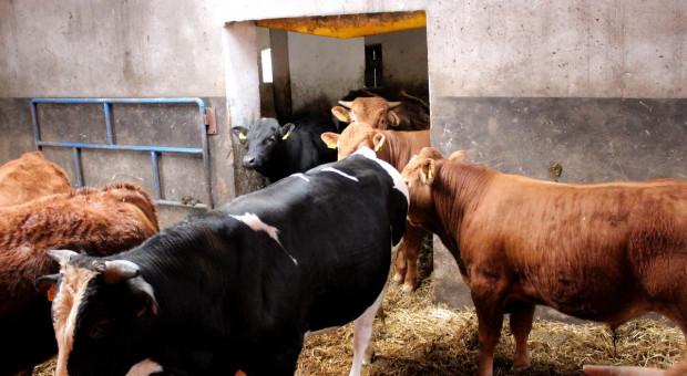 Dramat w cennikach bydła – buhaj tańszy od tucznika