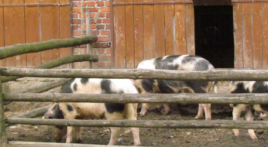 KZP-PTCh przeciwny propagowaniu utrzymywania świń na wybiegach