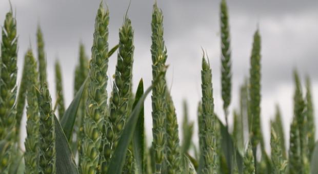 Wzrostowa końcówka tygodnia na światowym rynku zbóż