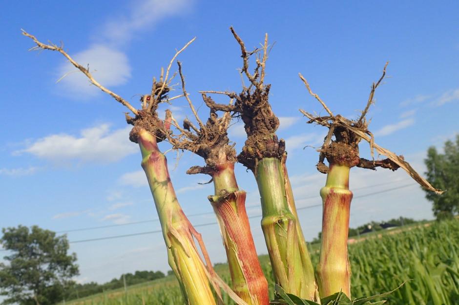 Szkody, jakie wywołuje stonka kukurydziana polegają głównie na uszkodzeniu systemu korzeniowego przez larwy, które podjadają korzenie Fot. P. Bereś