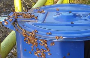 Zdenerwowane pszczoły żądliły ludzi i obsiadały wszystko wokół, Foto: OSP Pilchowice