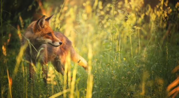 W Małopolsce szczepienie lisów przeciw wściekliźnie, Śląskie wolne od choroby