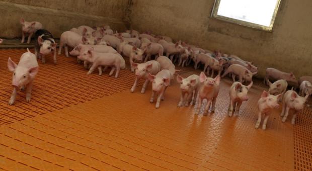 20. ognisko ASF i ponad 3 tys. świń do likwidacji