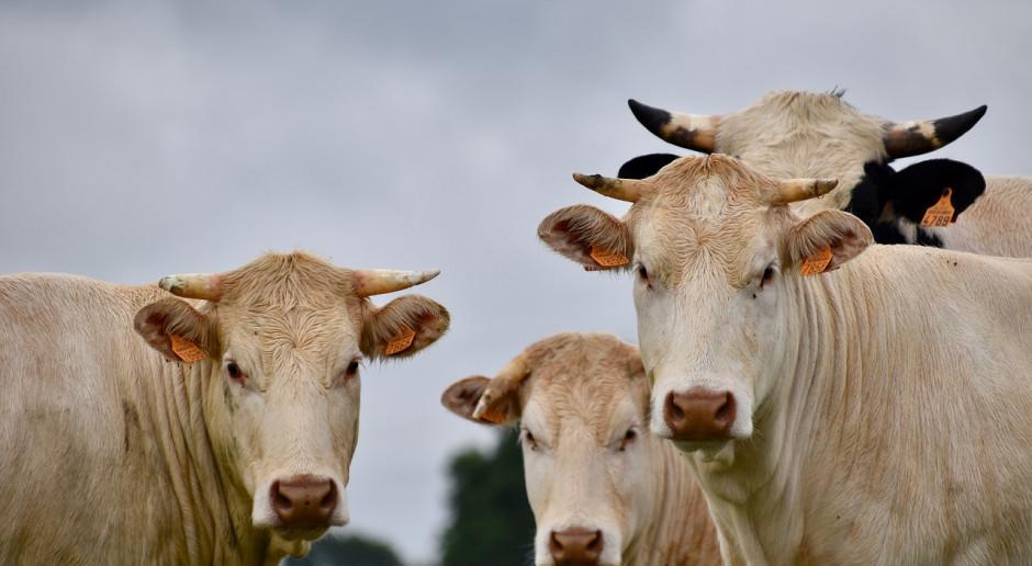 Dramat producentów bydła – winne zawirowania eksportowe?
