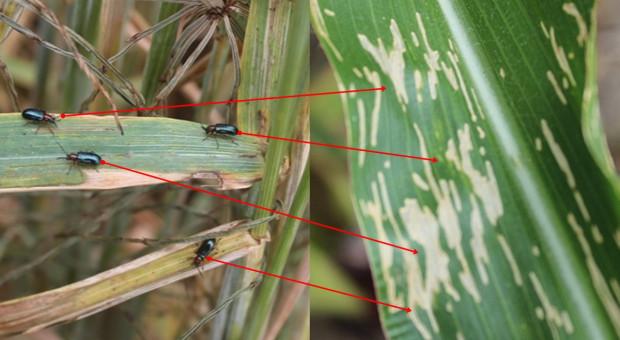 Skrzypionka przechodzi ze zbóż na kukurydzę