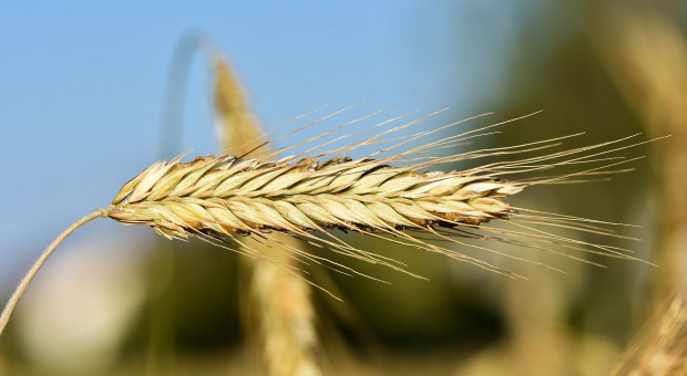 Świętokrzyskie: Z powodu suszy zbiory mogą być mniejsze lub gorszej jakości