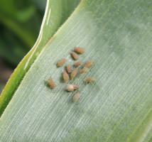 Mszyce na kukurydzy