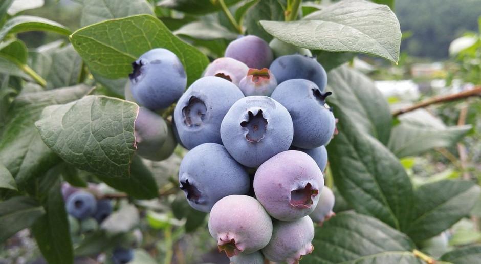 Złodzieje oberwali borówki na plantacji. Ukradli tonę owoców