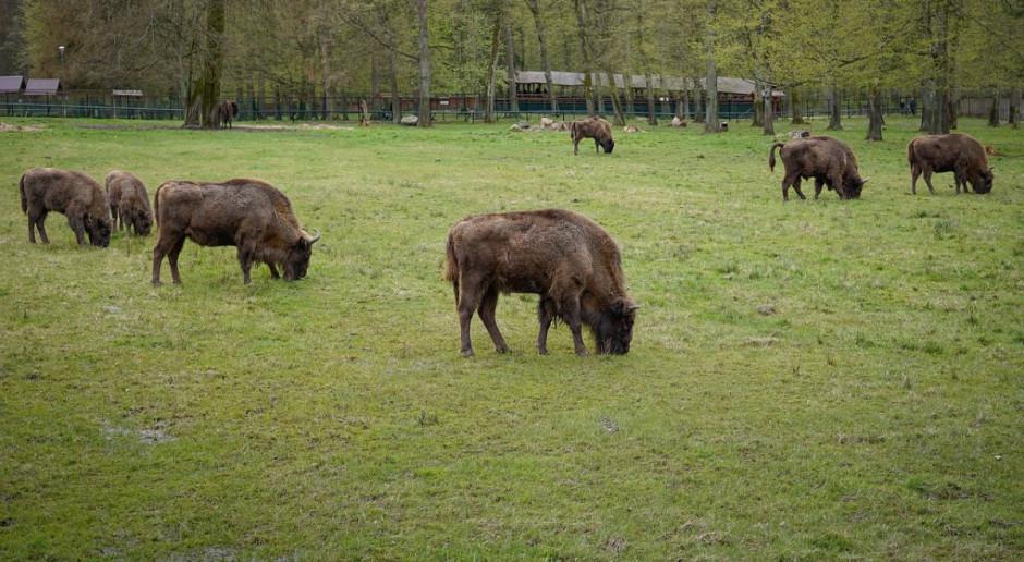 Przybywa żubrów w Bieszczadach - rosną szkody rolników