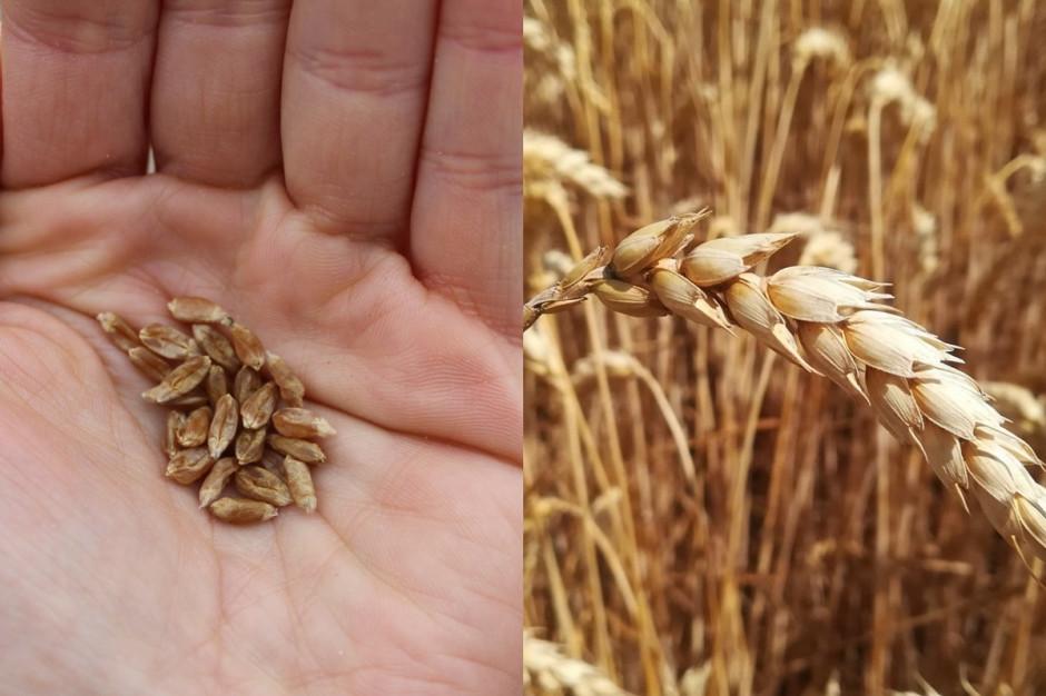 W wielu przypadkach zbierane ziarno pszenicy ozimej jest niewyrównane i wręcz wysuszone od silnych czerwcowych upałów. Konsekwencją braku opadów jest niska MTZ Fot. A. Kobus