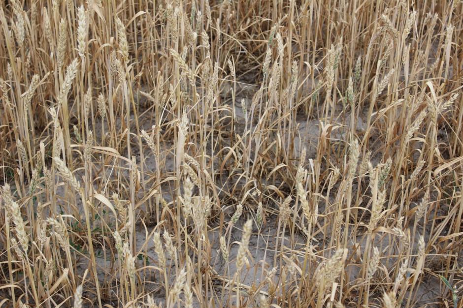 W związku z brakiem wody, największy problem dotyczy zbóż jarych. Tu już znacząca dla tych upraw była kwietniowa susza, która bardzo negatywnie wpłynęła na wschody a następnie na proces krzewienia Fot. A. Kobus