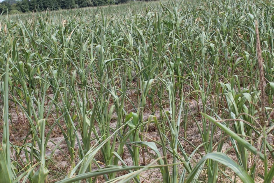 Tragicznie wygląda takze kukurydza, głównie na lżejszych stanowiskach Fot. A. Kobus